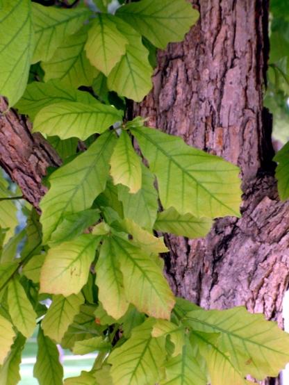 048 Quercus bicolor - Swamp White Oak leaves & trunk @CC LAH rs