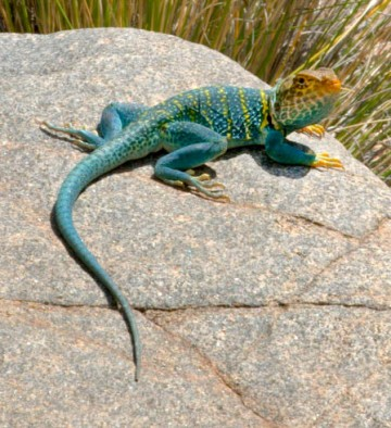 Collared Lizard_ColoNat'lMon-CO_LAH_3613