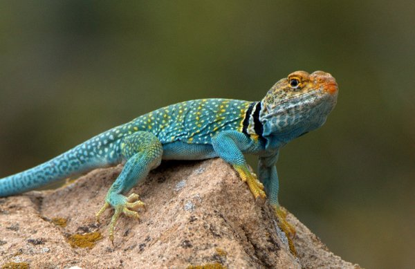 Collared Lizard_HovenweepNM-CO_LAH_2926