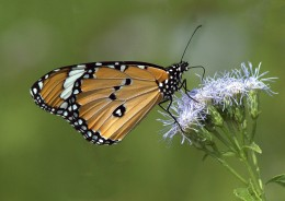 Danaus genutia_Common Tiger butterfly_OsmaniaUniv-Hyderabad-India_LAH_1424