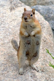 Golden-mantled Groundsquirrel_ElevenMileCyn-CO_LAH_0989
