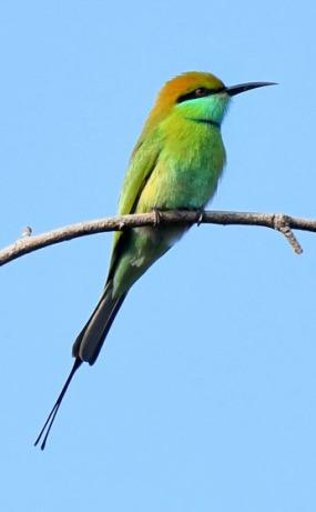 Green Bee-eater_OsmaniaUniv-Hyderabad-India_LAH_1002