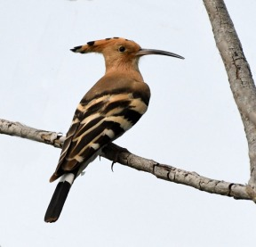Hoopoe_OsmaniaUniv-Hyderabad-India_LAH_1370