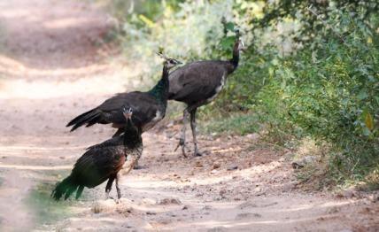 Indian Peafowl_OsmaniaUniv-Hyderabad-India_LAH_1310