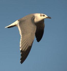 Laughing Gull_BocaChica-Brownsville-TX_PLH_3751