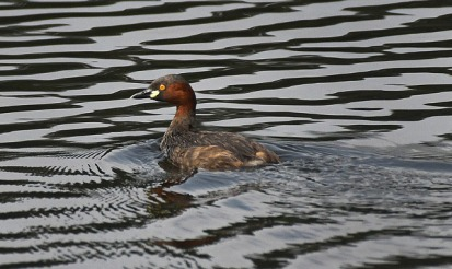 Little Grebe_OsmaniaUniv-Hyderabad-India_LAH_1498