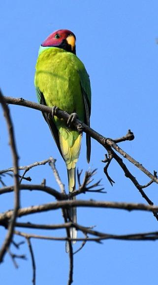 Plum-headed Parakeet_OsmaniaUniv-Hyderabad-India_LAH_1039
