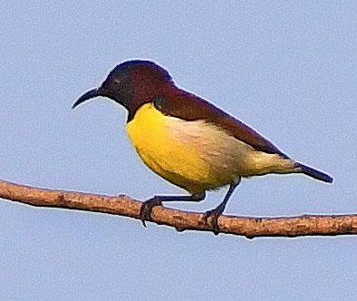 Purple-rumped Sunbird_OsmaniaUniv-Hyderabad-India_LAH_0865