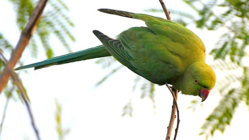 Rose-ringed Parakeet_OsmaniaUniversity-Hyderabad-India_LAH_0698