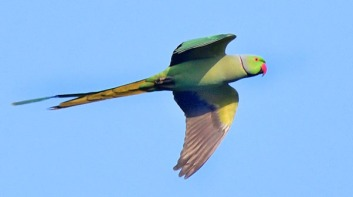 Rose-ringed Parakeet_OsmaniaUniversity-Hyderabad-India_LAH_0809