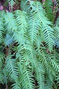 Sword Ferns_Multnomah Falls_PortlandOR_20100205_LAH_8420