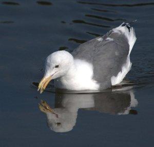 Western Gull_LincolnCityOR_20090922_LAH_1580