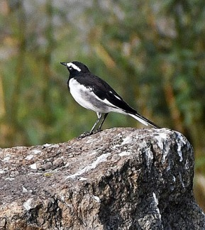 White-browed Wagtail_OsmaniaUniv-Hyderabad-India_LAH_1122