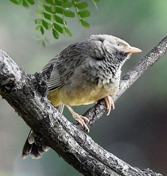 Jungle Babbler_OsmaniaUniv-Hyderabad-India_LAH_1401