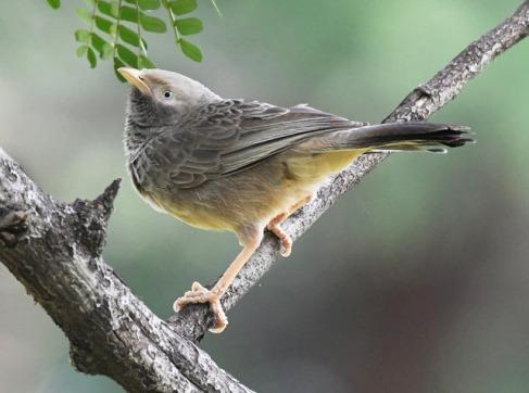 Jungle Babbler_OsmaniaUniv-Hyderabad-India_LAH_1409