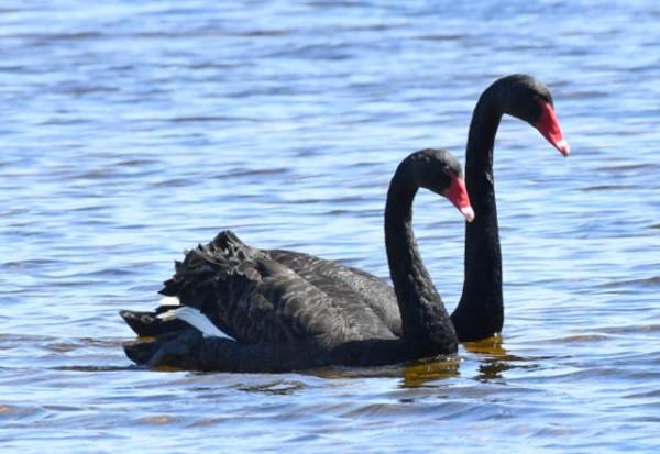 Black Swan_MyallLakesNP-NSW-Australia_LAH_9299