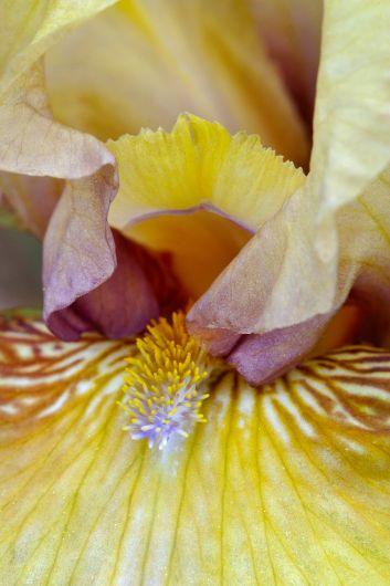 Iris germanica 'Gaslight'_2712x