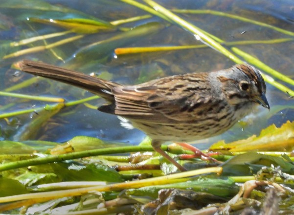 Lincoln's Sparrow_EchoLake-MtEvans_CO_LAH_5987