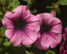 Petunia 'Purple Wave' 'Purple Wave' @DBG 28jul04 LAH 100
