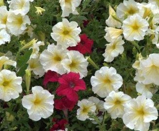 Petunia_HudsonGardens-CO_LAH_6334
