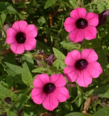 Petunias @DBG 28jul04 LAH 347