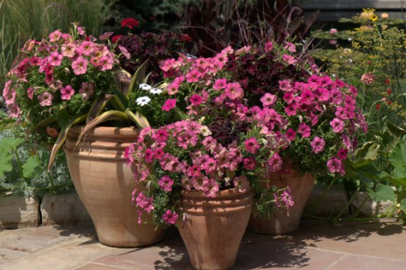 Petunias in containers_DBG_LAH_2632