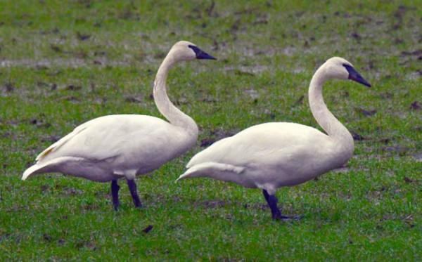 Swans_WA_LAH_9767