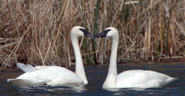 Trumpeter Swans_CamasNWR-ID_LAH_9097