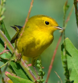 Wilson's Warbler_CrowValleyCG-PawneeGrasslands-CO_LAH_2418