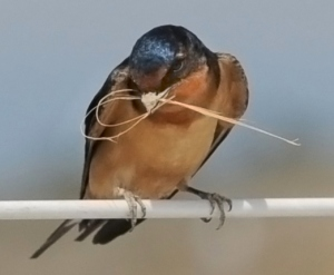 Barn Swallow @LakePueblo 20090523 LAH 196r