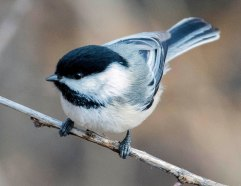 Black-capped Chickadee_FCNC-CO_LAH_2773