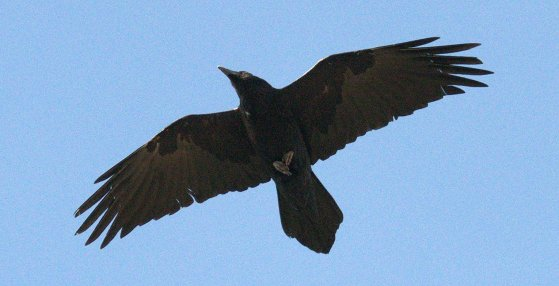 Common Raven_BlackCanyonoftheGunnisonNP-CO_LAH_0961