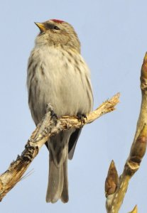 Common Redpoll_FtCollins-CO_LAH_0044