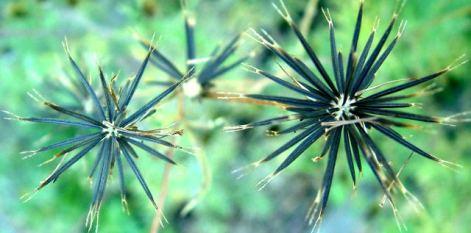 Cosmos seedhead @Holzmann garden 26sept05 LAH 002-001