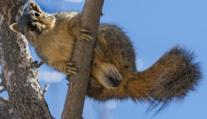 Fox Squirrel_PuebloCityPark_Pueblo-CO_LAH_1025