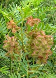 Glycyrrhiza lepidota_Wild Licorice_ChicoBasinRanch-CO_LAH_3981