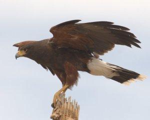 Harris's Hawk_DesertMuseum-AZ_LAH_8418