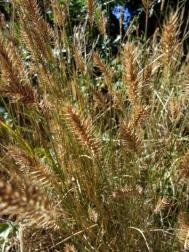 Hordeum leporinum - Hare barley @GardenOfGodsCO 26sept07 LAH 013