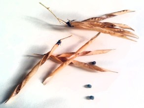 Lathyrus latifolius seed pod