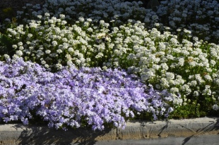 Phlox subulata_Creeping Phlox & Iberis sempervirens_Candytuft_DBG-CO_LAH_6591