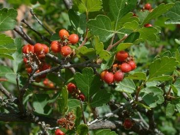 Rhus trilobata - 3-Leaf Sumac berries @Red Rock Canyon LAH 117