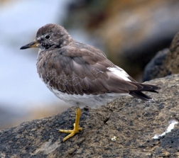 Surfbird_SealRockOR_20090923_LAH_2356