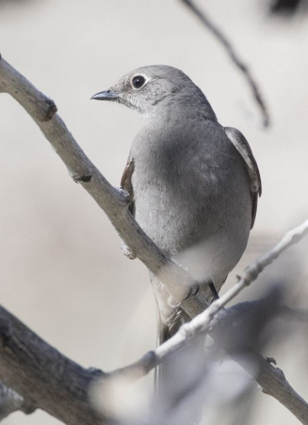 Townsend's Solitaire_RoselawnCemetery-Blende-CO_LAH_0969