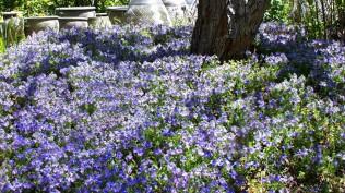 Veronica pectinata in garden