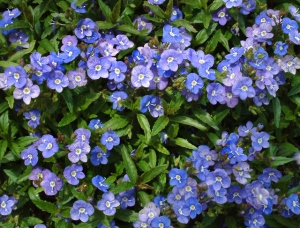 Veronica peduncularis 'Georgia Blue' @DBG LAH 171rs