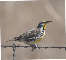 Western Meadowlark_PuebloSWA-CO_LAH_1244