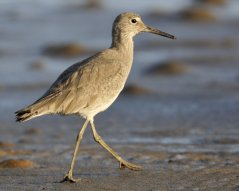Willet_Morro Bay-CA_LAH_f7368