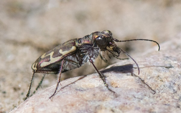 Beach Tiger Beetle_LakePuebloSP-CO_LAH_1733