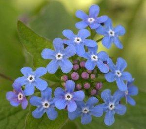 Brunnera macrophylla_Siberian Bugloss_DBG-CO_LAH_4153