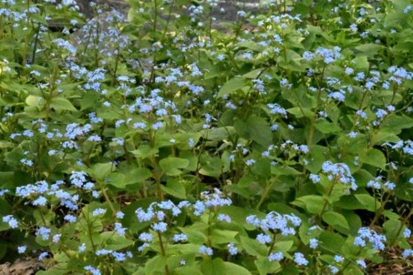 Brunnera macrophylla_Siberian Bugloss_DBG-CO_LAH_6652